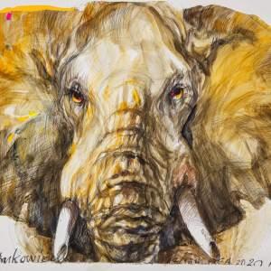 Żółto-brązowa głowa słonia widziana z naprzeciwka. Białe tło.