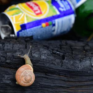 Ślimak na opalonej kłodzie. Za nią puszka napoju Lipton. (zdjęcie nr 24)