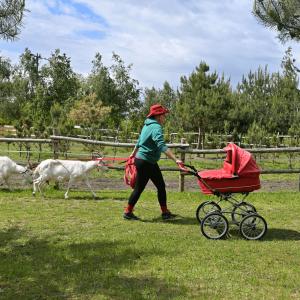 Kobieta w czerwonym kapeluszu pcha czerwony wózek i trzyma na smyczy dwie białe kozy. Za nią drewniane  ogrodzenie i młode sosny.(zdjęcie nr 26)