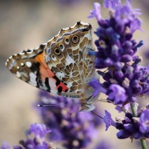 Zdjęcie zbliżenie. Motyl na kwiecie lawendy.