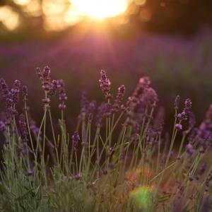 Zbliżenie na łodygi lawendy. W tle rozmyte światło słoneczne.