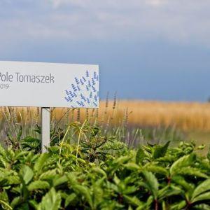 Pole zielonych krzewów lawendy. Wbita w ziemię biała tabliczka z napisem Pole Tomaszek 2019.