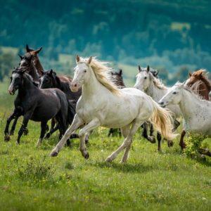 Na zdjęciu stado koni w galopie